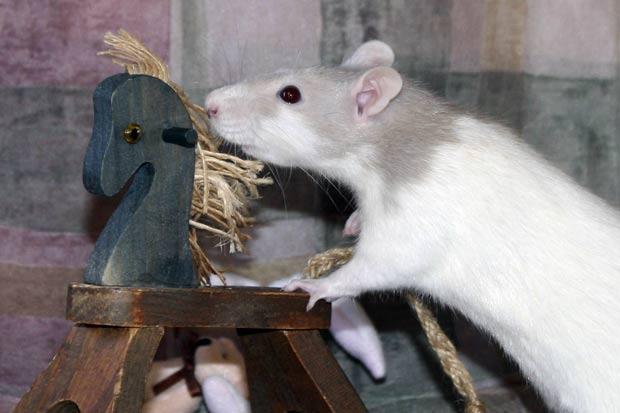 Rato chamado 'Dusty Rhodes' brinca na casa de Kimberly em Falmouth. (Foto: AP)