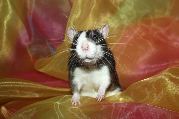 Kimberly Jackson diz que roedores são brincalhões, carinhosos e inteligentes. (Foto: AP)