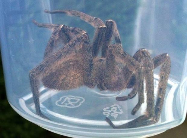 Aranha venenosa foi capturada em cacho de bananas em supermercado de Edimburgo. (Foto: Divulgação/Scottish SPCA)