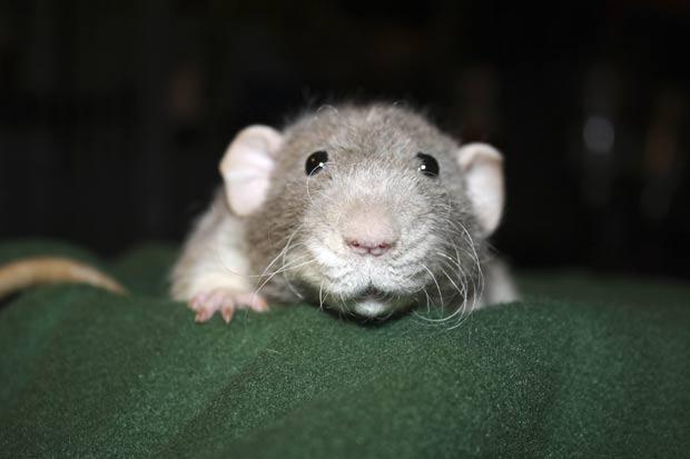 Kimberly Jackson mantém ratos como animais de estimação em sua casa em Falmouth. (Foto: AP)