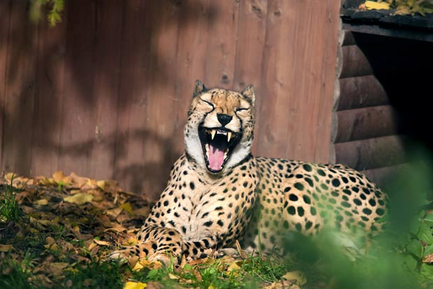 Em 2011, o russo Sergei Gladyshev fotografou um guepardo que parecia estar sorrindo no zoológico de Moscou, na Rússia. Durante um passeio, Gladyshev disse que ficou surpreso com a expressão facial incomum do guepardo e a primeira coisa que pensou foi em fotografar o felino. (Foto: Sergei Gladyshev/Barcroft USA/Getty Images)