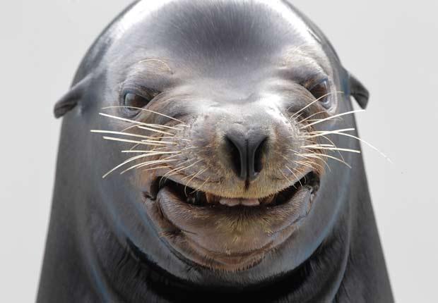 Em outubro de 2010, um leão-marinho foi flagrado 'sorrindo' durante um show em um parque aquático em Kamogawa, no Japão. (Foto: Itsuo Inouye/AP)