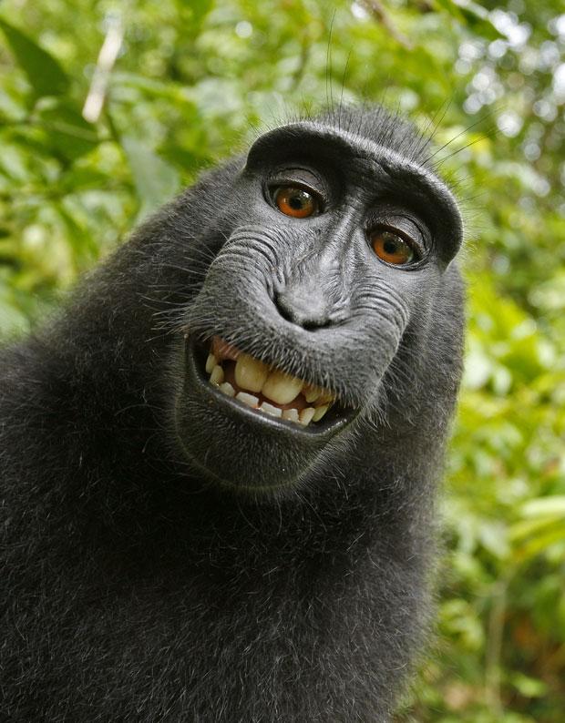 Em julho de 2011, um fotógrafo se surpreendeu com as imagens feitas por um macaco da espécie Macaca nigra, que roubou sua câmera e acabou fazendo um 'sorridente' autorretrato em um pequeno parque nacional na ilha de Sulawesi, na Indonésia. (Foto: Wild Monkey/David Slater/Caters News)
