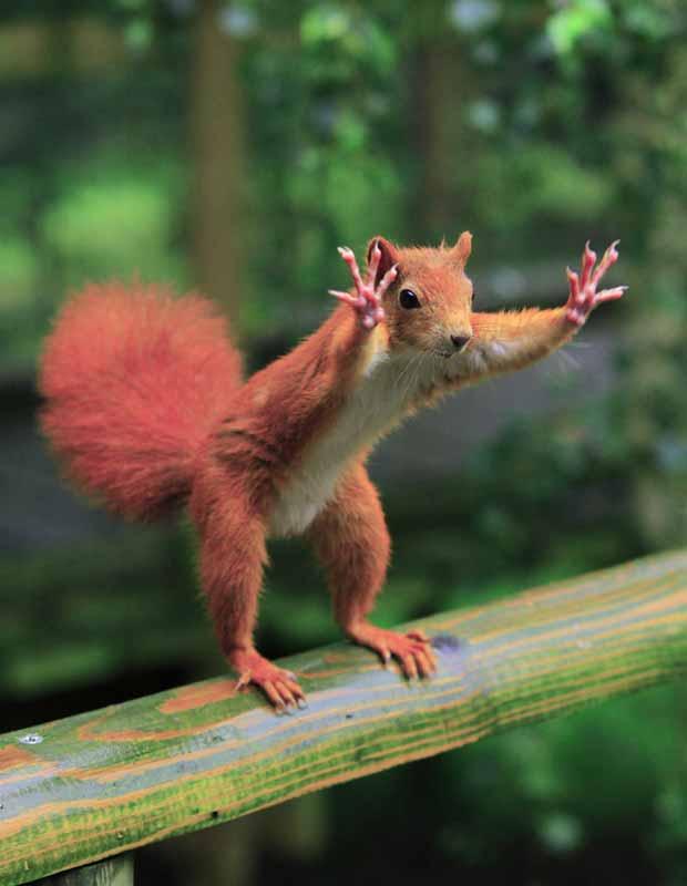 No ano passado, o fotógrafo britânico Ian Rentoul flagrou um esquilo em pé que parecia estar acenando para ele. De acordo com Rentoul, o roedor estava tentando chamar sua atenção de todas as maneiras, já que ele segurava algumas nozes. (Foto: Ian Rentoul/Caters)