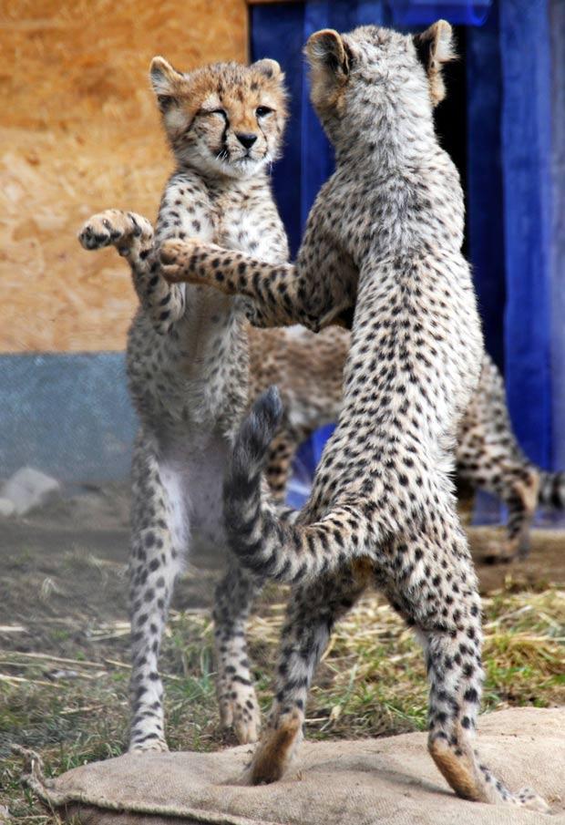 No dia 5 de março, dois filhotes de guepardos foram fotografados no zoológico em Neuwied, na Alemanha, em uma cena em que pareciam estar dançando. (Foto: Tim Schulz/DAPD/AP)