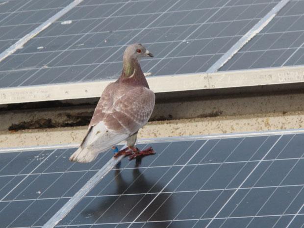 Pombo-correio parou no telhado da Estação Científica (Foto: Eduardo Carvalho/Globo Natureza)