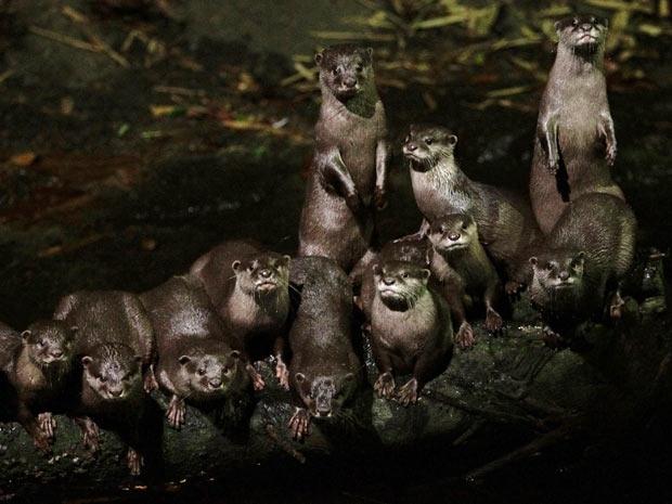 Um grupo de lontras asiáticas de garras pequenas (Aonyx cinerea) se reúne perto de um riacho, em Singapura, nesta quarta-feira (7). Considerada a menor de espécies de lontra do mundo, a Aonyx cinerea é classificada como vulnerável, segundo a lista Vermelha da União Internacional para Conservação da Natureza (IUCN).  (Foto: Reuters / Tim Chong)