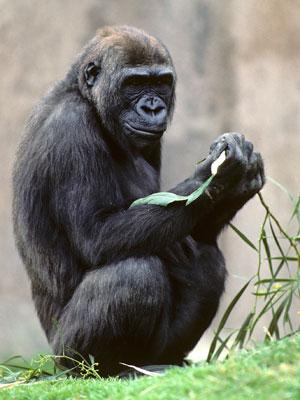 Gorila Kamilah em seu recinto, no zoológico de San Diego (Foto: AP Photo/San Diego Zoo )