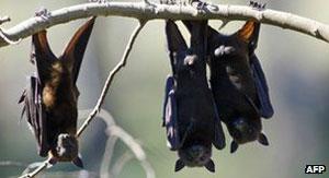 Cidade é invadida por mais de 250 mil morcegos na Austrália (Foto: AFP)