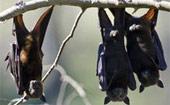 250 mil morcegos invadem a Austrália (250 mil morcegos invadem cidade (AFP))