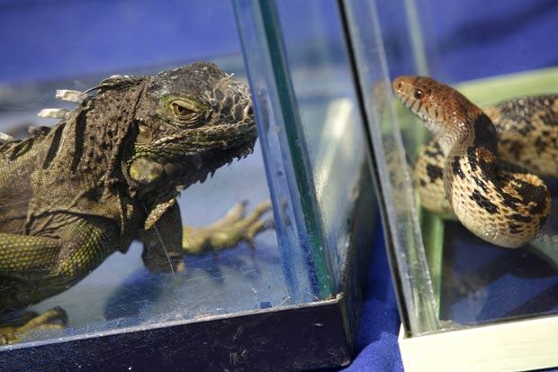 Iguana e cobra se encaram com olhares amedrontadores. (Foto: Bernardo Montoya/Reuters)