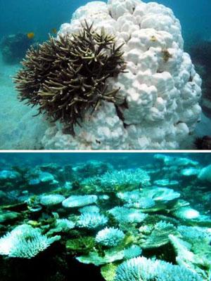 A primeira imagem mostra uma inesperada sobrevivência de corais de crescimento rápido na Malásia, durante o aquecimento das águas verificado em 2010. Já a segunda imagem retrata efeitos devastadores do aumento de temperatura nos corais da Indonésia. (Foto: Divulgação / UNSW)
