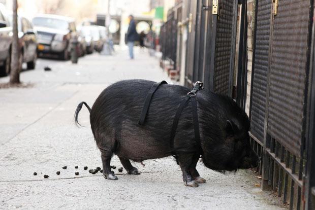 O porco de estimação Emmett é flagrado fazendo suas necessidades durante passeio com seu dono em Nova York nesta quinta-feira (8) (Foto: Lucas Jackson/Reuters)