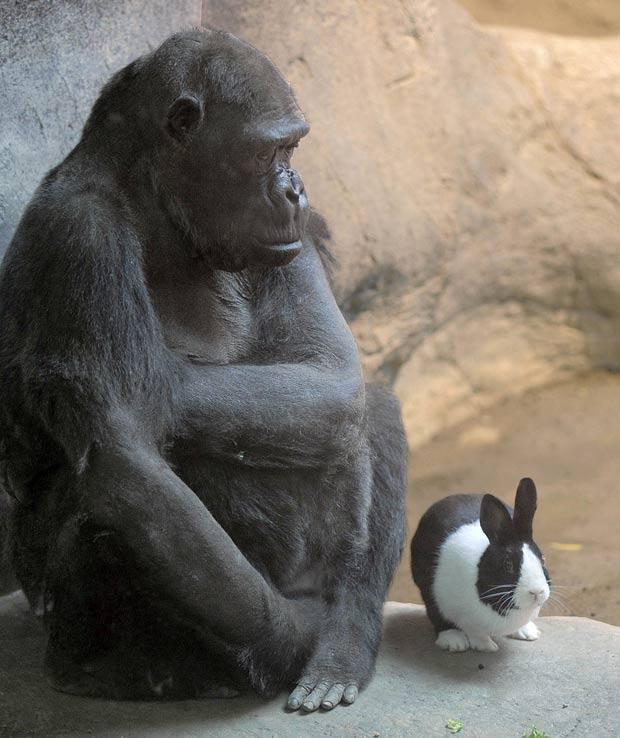 Gorila chamada Samantha ganhou um coelho como companheiro em zoo americano. (Foto: Greg Wohlford/Erie Times-News/AP)