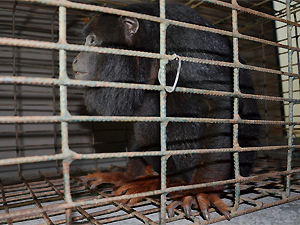 Macaco foi levado para centro de triagem de animais (Foto: Walter Paparazzo/G1)