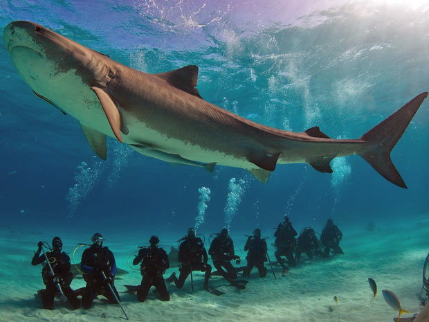 tubarão-tigre (Foto: Divulgação/Jim Abernethy)