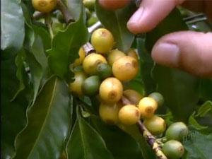 Pesquisadores desenvolvem produto que combate fungos no café (Foto: Reprodução EPTV)