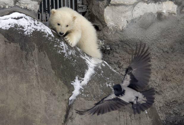 Filhote de urso polar foi flagrado testando seu poder de caça no zoo de Moscou. (Foto: Alexander Zemlianichenko/AP)
