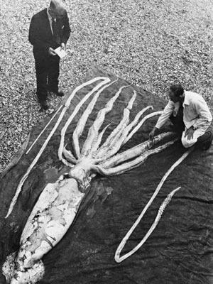 Olho do tamanho de bola de basquete ajuda lula gigante a perceber aproximação de predadores (Foto: Divulgação / NTNU Museum of Natural History and Archeaology / Wikimedia Commons)
