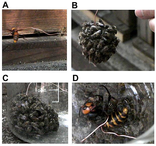 Abelhas fazem 'bola' para aquecer e cozinhar a vespa predadora (Foto: Ugajin A, Kiya T, Kunieda T, Ono M, Yoshida T, et al.)