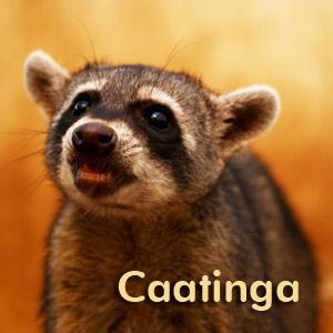 Animais vítimas do tráfico são libertados na floresta da caatinga (Rede Globo)