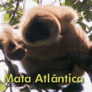 Maior primata das Américas vive na Mata Atlântica: é o muriqui (Rede Globo)