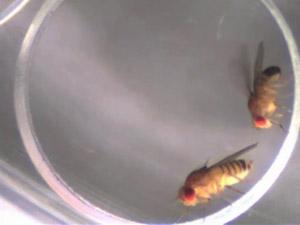 Mosca macho tenta copular com uma fêmea, sem sucesso (Foto: Science/AAAS)