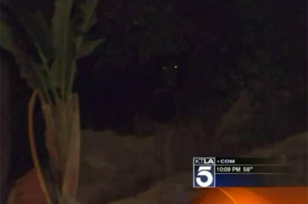 Departamento de vida selvagem do estado está tentando capturar o animal. (Foto: Reprodução)