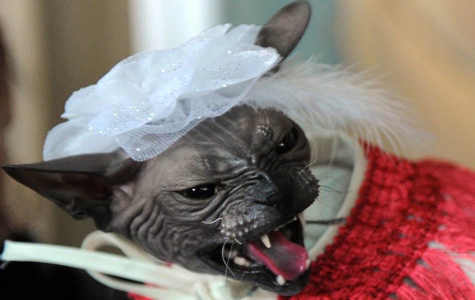 Gato Sphynx com vestido de noiva