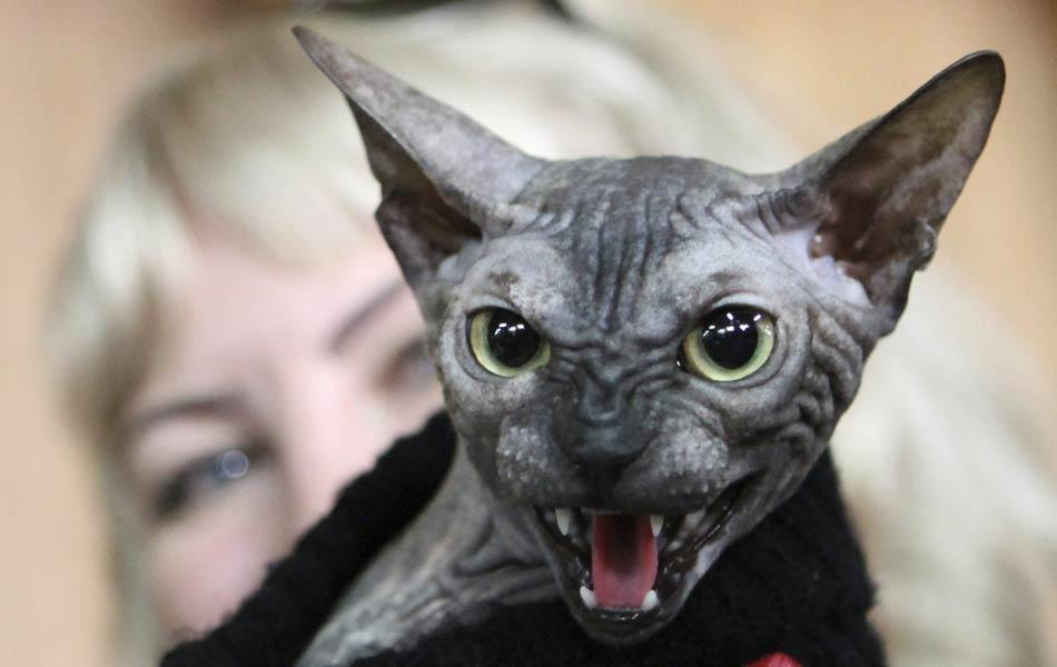 Gato Don Sphynx mostra os dentes para fotógrafo