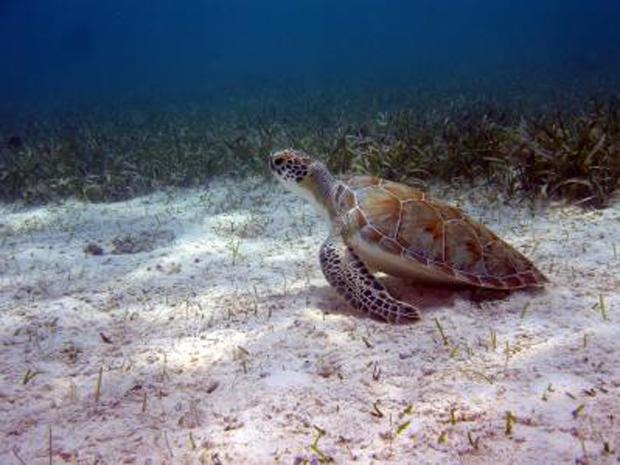 Áreas de Proteção Ambiental Marinhas ajudam a proteger tartarugas, de acordo com estudo da Universidade de Exeter (Foto: Divulgação / Peter Richardson, MCS)