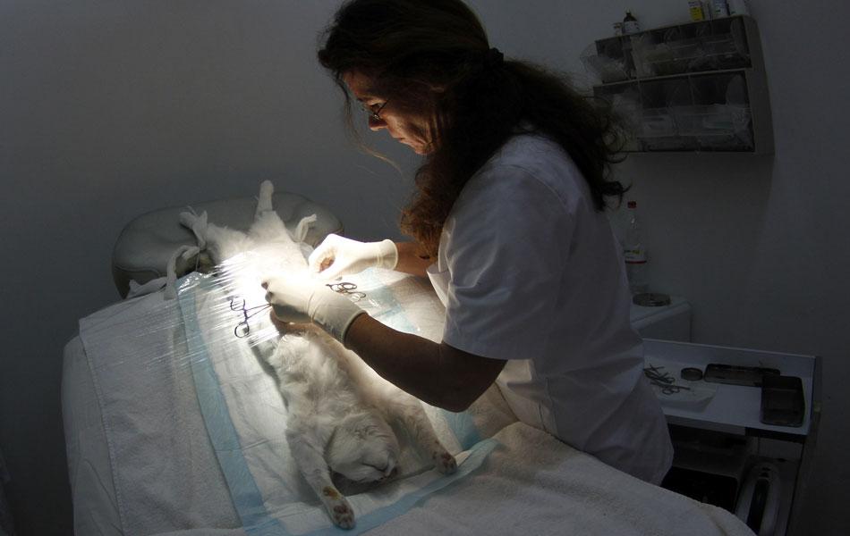 Uma veterinária realiza uma cirurgia de esterilização em um gato numa clínica de Calvia, na ilha espanhola de Mallorca. O governo de várias cidades espanholas paga por parte dos custos no procedimento para evitar o aumento no número de animais de rua.