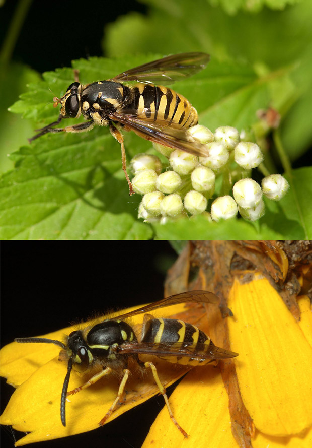 Imagem mostra uma mosca-das-flores e a vespa que ela tenta imitar.  (Foto: Divulgação / Steve Marshall )