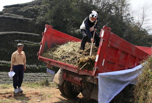Vestido com traje de panda, An Yanshi descarrega excrementos de pandas. (Foto: Reuters)