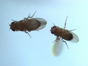 Macho corteja a fêmea produzindo sons com suas asas (Foto: Divulgação)