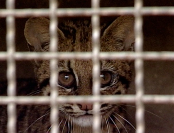 Gato-do-mato foi encontrado no centro de Governador Lindenberg, no Noroeste do Espírito Santo. (Foto: Reprodução/TV Gazeta Noroeste)
