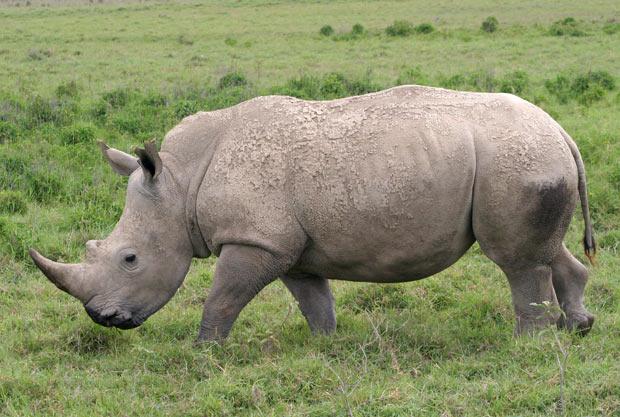 Imagem de arquivo mostra exemplar de rinoceronte-branco em parque do Quênia. Quatro exemplares da espécie morreram de forma misteriosa em um zoológico da Austrália. (Foto: Mary Schwalm/AP)