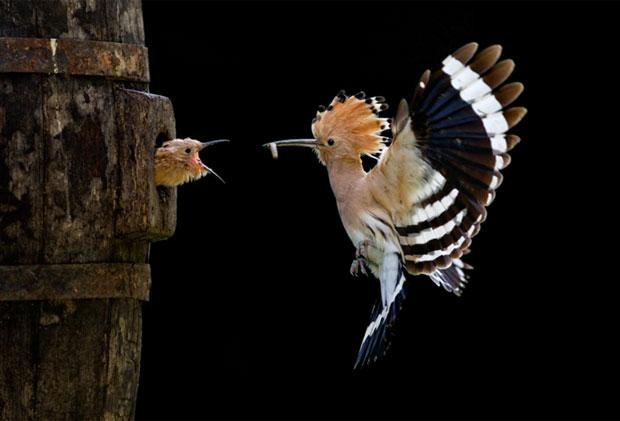 Giovanni Frescura, também da Itália, levou o prêmio de melhor foto de natureza e vida selvagem da categoria Aberta com Upupa, cortesia do Sony World Photography Awards 2012.  (Foto: Giovanni Frescura/Sony World Photography Awards)