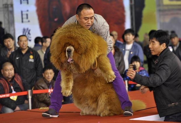 Cão mastim tibetano chamou atenção pelo tamanho durante um concurso canino. (Foto: Reuters)