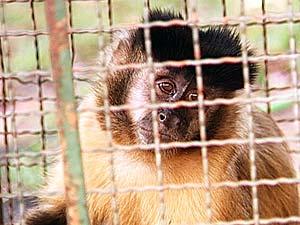 Macaco-prego estava com correntes quando foi apreendido (Foto: Reprodução/TV Integração)