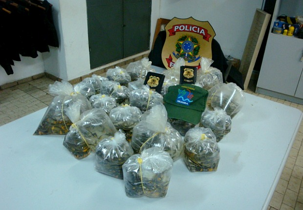 Alevinos possuíam em média quatro centímetros e estavam acondicionados em duas malas, dentro de sacos plásticos com água (Foto: Reprução/Ibama)