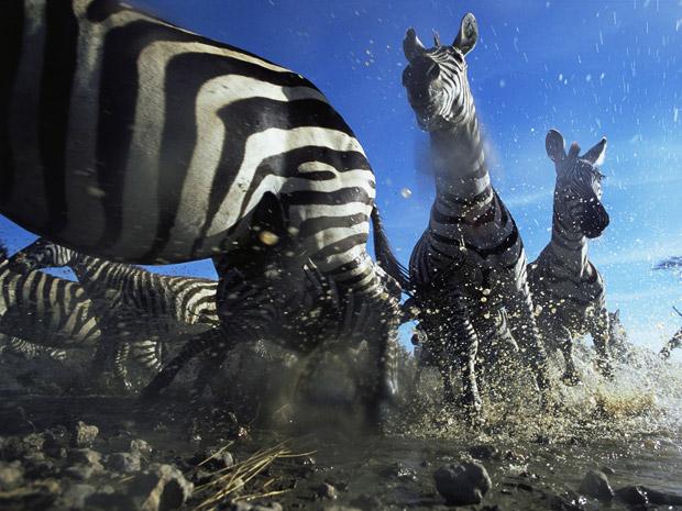 """O Museu de História Natural de Londres selecionou algumas das melhores imagens do seu tradicional concurso Wildlife Photographer of the Year, que existe há décadas. Esta imagem, intitulada """"Cruzamento Zebra"""", foi feita na Tanzânia pela fotógrafa britânica Anup Shah. O objetivo dela era mostrar como as formigas veem os animais. (Foto: Anup Shah)"""