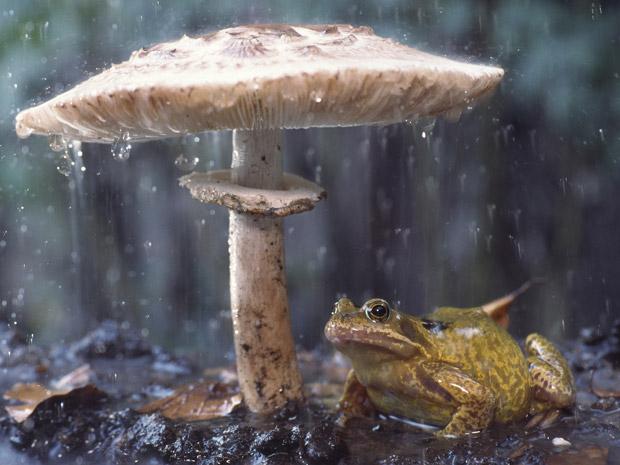 """Edwin Giesbers enfrentou uma forte chuva quando decidiu fotografar cogumelos próximos à sua casa, na Holanda. """"Eu percebi este cogumelo e depois vi que havia um sapo"""", conta ele. """"Eu me aproximei muito lentamente e usei uma velocidade baixa da câmera para mostrar a chuva"""".  (Foto: Edwin Giesbers)"""
