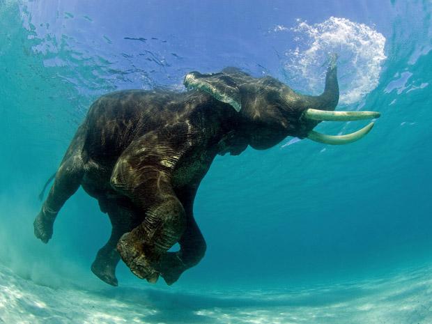 """3. Este elefante asiático estava tomando um banho quando o fotógrafo americano Jeff Yonover o flagrou.  Yonover conseguiu retratar o exato momento em que a tromba do elefante funcionou como um """"snorkel"""". (Foto: Jeff Yonover)"""