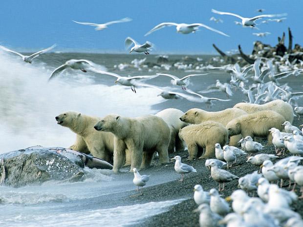 O cadaver de uma baleia-cinzenta atraiu esta multidão inusitada no Alasca. Ursos polares costumam ser solitários e caçam sobre o mar congelado. Mas este grupo flagrado pelo fotógrafo americano Howie Garber contem vários machos, pelo menos uma fêmea e alguns filhotes. (Foto: Howie Garber)