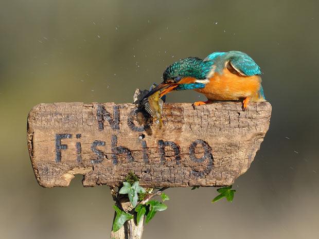 """Um exemplar de martim-pescador, também conhecido como pica-peixe (Ceryle torquata) foi fotografado, foi """"flagrado"""" por um fotógrafo do Reino Unido pescando em local proibido. A cena mostra o pássaro com um peixe na boca, em cima de uma placa onde se lê o  (Foto: Caters)"""