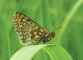 Grande-borboleta-azul (Europa) (Foto: Divulgação/Chris van Swaay)