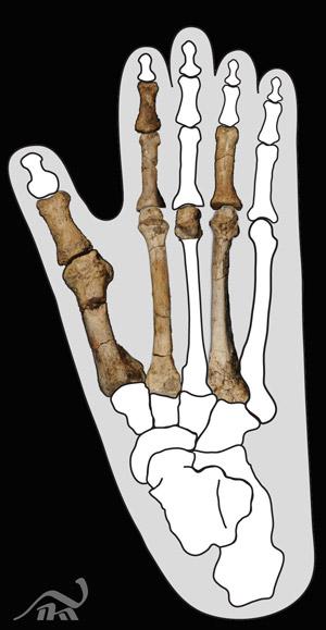 Ossos encontrados na Etiópia, comparados à estrutura do pé de um gorila (Foto: The Cleveland Museum of Natural History/Yohannes Haile-Selassie)