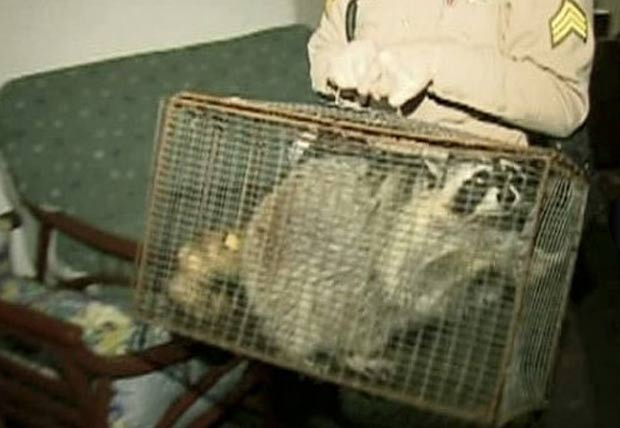 Guaxinim estava entre os animais resgatados da casa. (Foto: Reprodução)