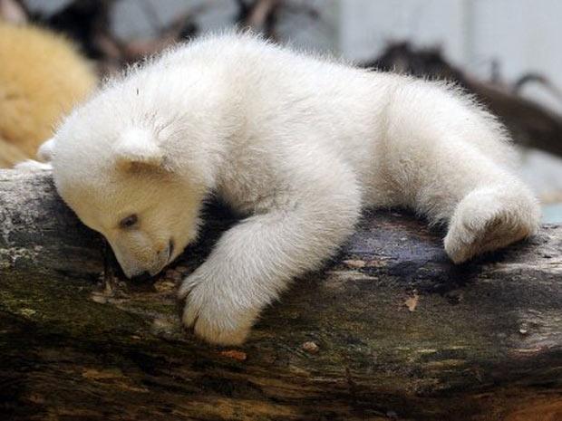 O urso Anori (Foto: Oliver Berg/AFP)